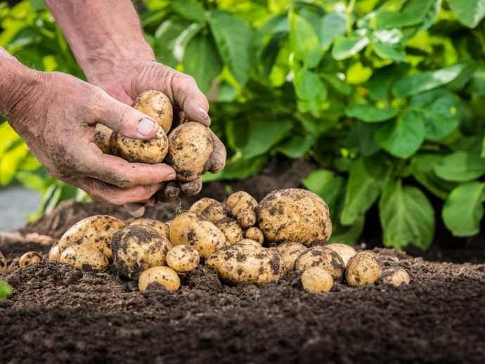 Зная, какое удобрение лучше всего применять на разных стадиях вегетации, можно добиться очень высоких результатов при выращивании картофеля в условиях приусадебного овощеводства