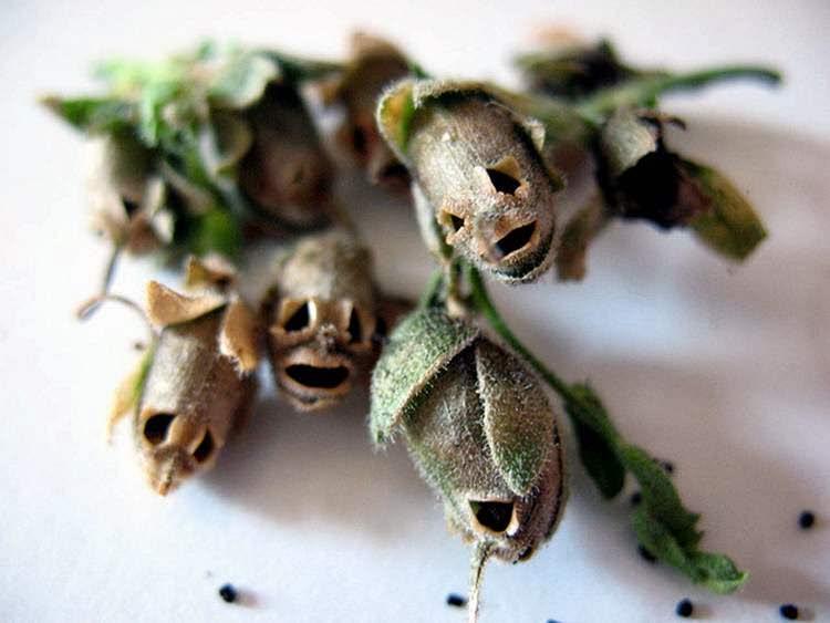 Высевать многолетники в открытый грунт выгоднее экономически, так как при таком способе посева всхожесть семян увеличивается