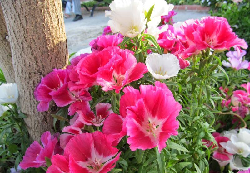 Выращивание изящного цветка кларкии: посадка семенами и правильный уход