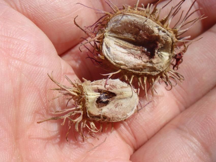 Достаточно часто размножение клещевины осуществляется семенами