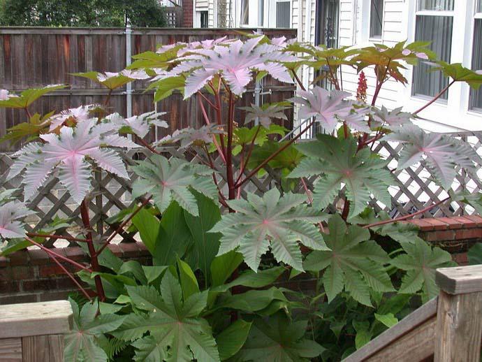 При соблюдении агротехники садовая клещевина крайне редко поражается различными вредителями или болезнями