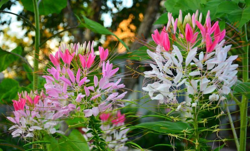 Выращивание цветка клеомы - Брызги шампанского на вашей клумбе