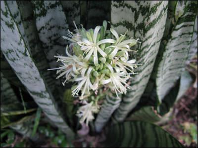 Цветет сансевиерия в условиях комнатного цветоводства достаточно редко