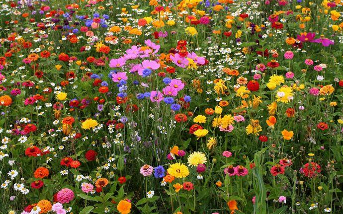 Для равномерности цветения мавританского газона однолетние растения следует подсевать каждое лето