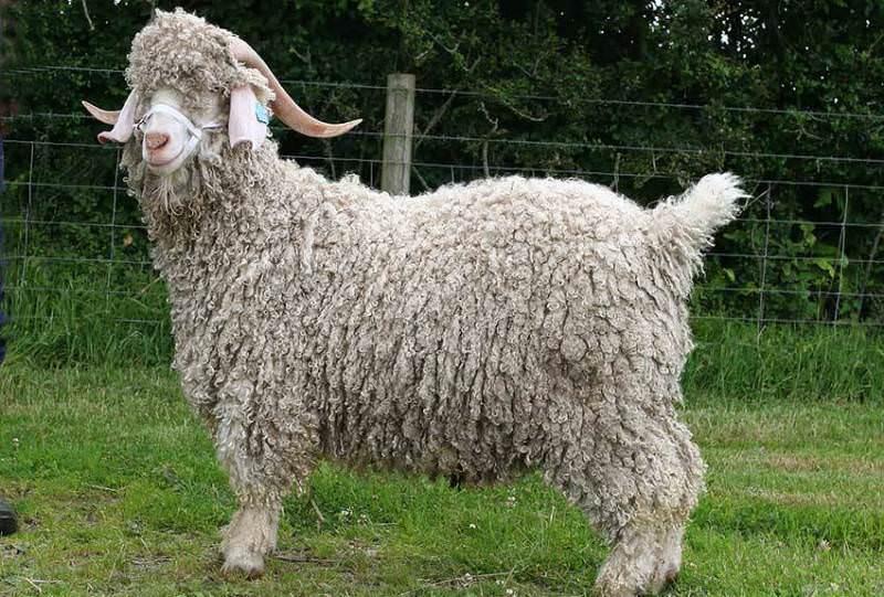 Ангорская порода коз, или как ее называют в Турции - тифтик кечи