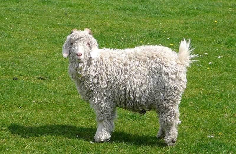 Живая масса взрослых коз - 42-65 кг.