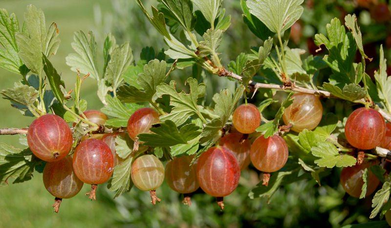 Крыжовник на даче: как получить урожай свежей и сочной ягоды