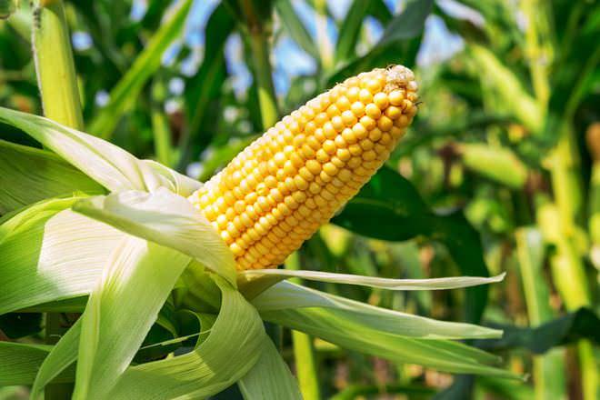 Благодаря достаточному количеству витамина К кукуруза действует оздоравливающе на сердечнососудистую систему