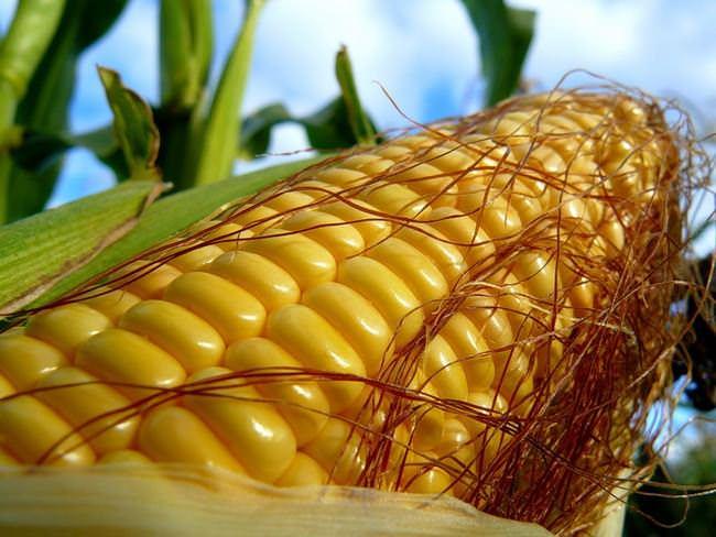 Общая калорийность кукурузы в сыром виде составляет 325 ккал на 100 г