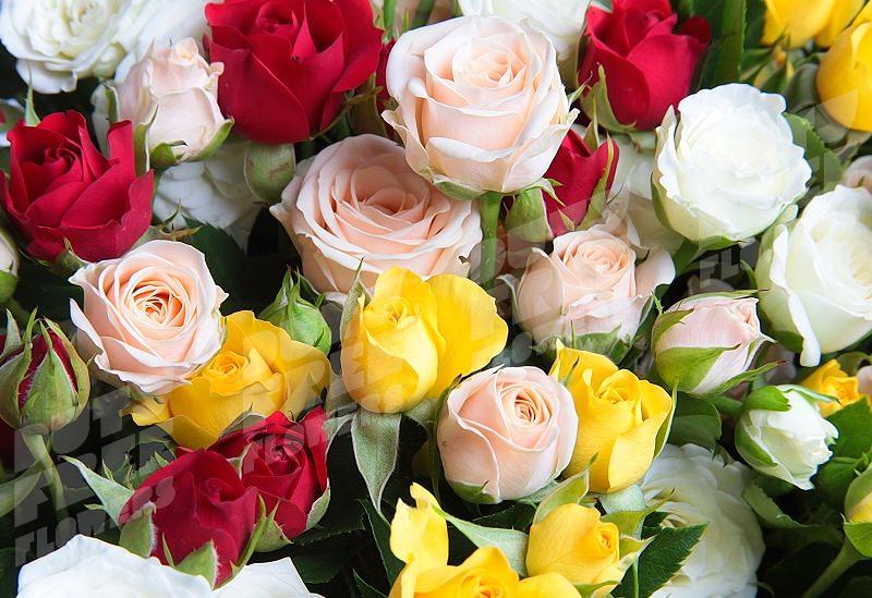 Кустовые розы: лучшие сорта и правила ухода