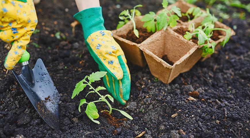 Высаживать томатную рассаду нужно после того, как температурный режим в теплице составит 20°С и более