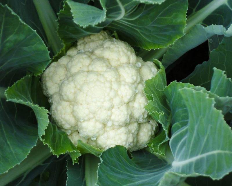 Правильный выбор сорта цветной капусты позволяет получить достойную урожайность этого вида капусты даже в северных регионах