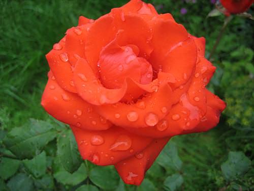 Роза Анжелика фото и описание, подкормка, обрезка, полив