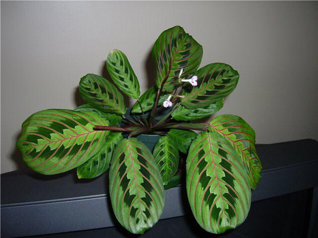 Маранту трехцветную принято считать наиболее декоративной и неприхотливой, что позволяет осуществлять её выращивание даже цветоводам-новичкам