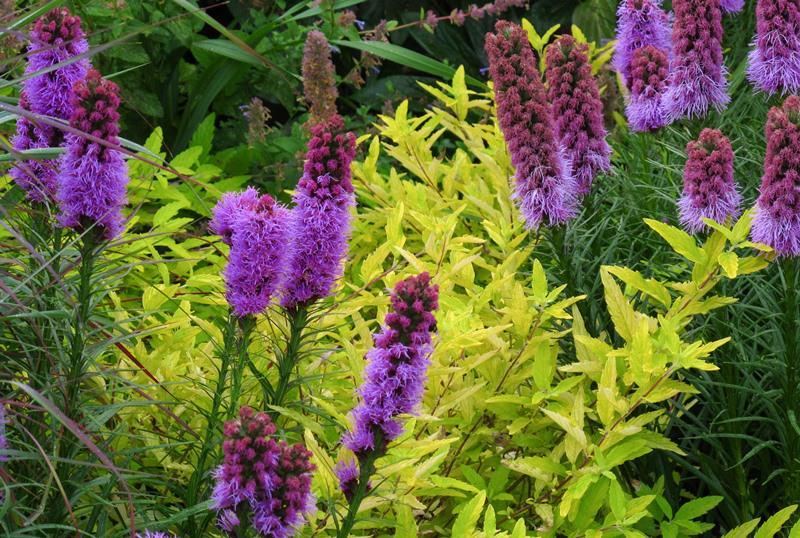 Выращивание лиатриса на территории вашего участка