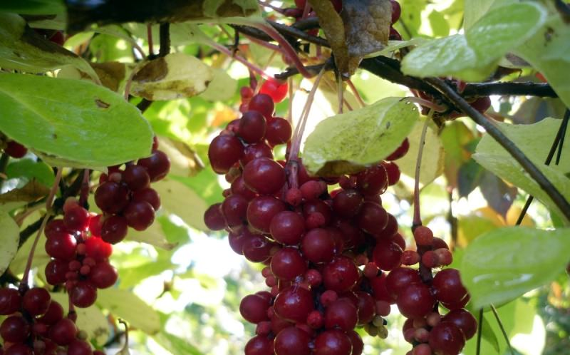 Лимонник китайский: выращивание ягодной лианы с полезными свойствами