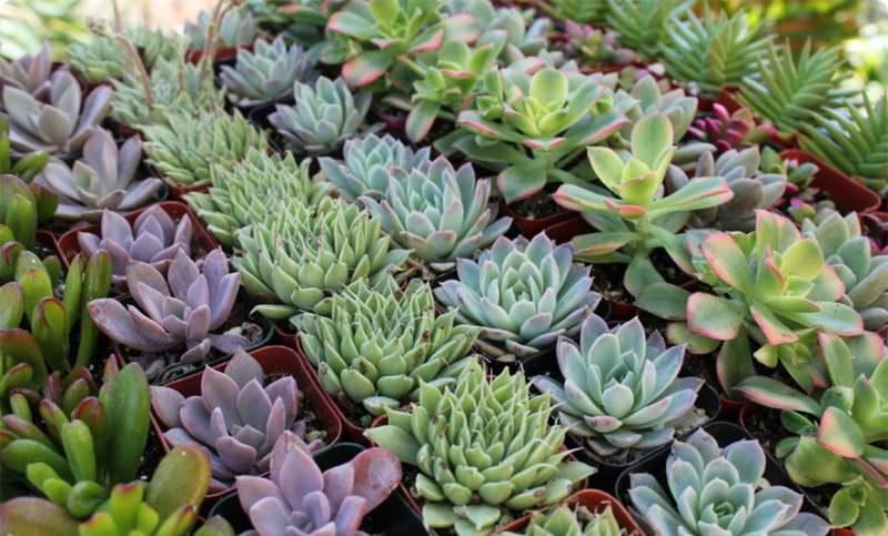Живые камни литопсы в вашем саду