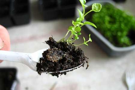 Вырастить лобелию из семян просто