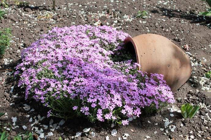 Цвести лобелия будет на протяжении всего лета и часть осенней поры тоже захватит