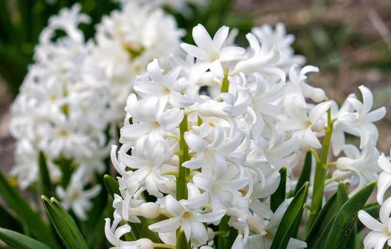 Каждый гиацинт значение слова имеет свое, так, белый символизирует искреннюю возвышенную любовь