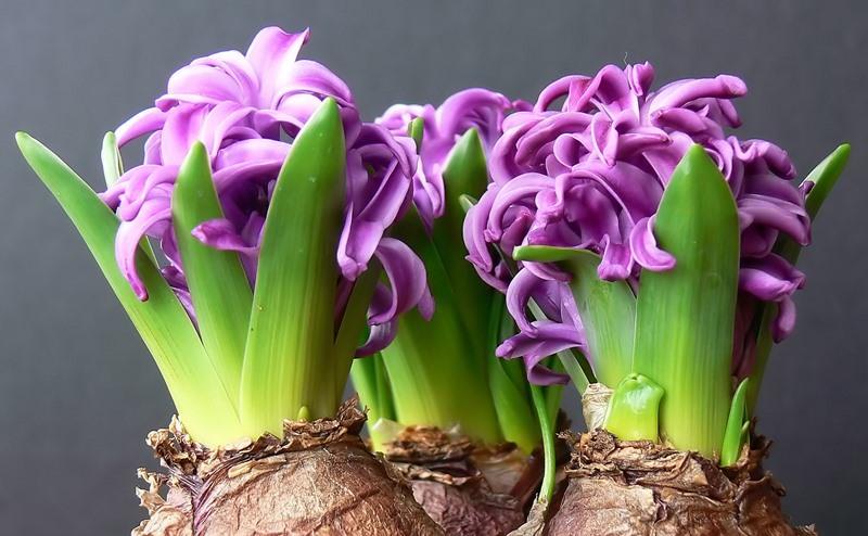 Как вырастить красочные луковичные цветы