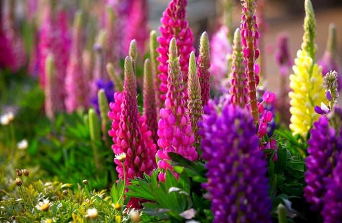 Выращивание люпинов вполне доступно начинающим цветоводам