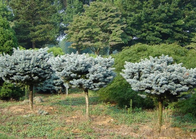 Отечественные садоводы чаще всего выращивают декоративный сорт ели под названием Globosa