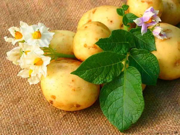 Пожелтели макушки картофеля. Почему?
