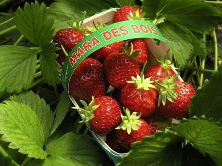 Ремонтантные сорта клубники пользуются особой популярностью у дачников и огородников. Среди них можно отметить Мара де Буа