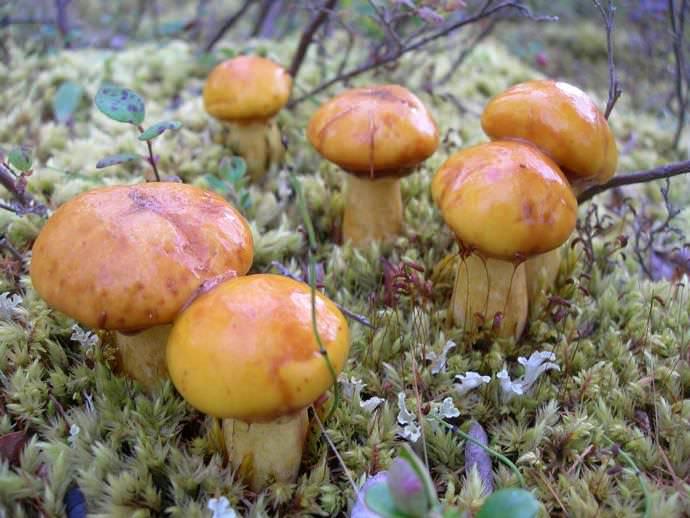 Мало кто знает, но возможно мариновать грибы и закрывать их в банки на долгую зиму даже с неочищенными шляпками