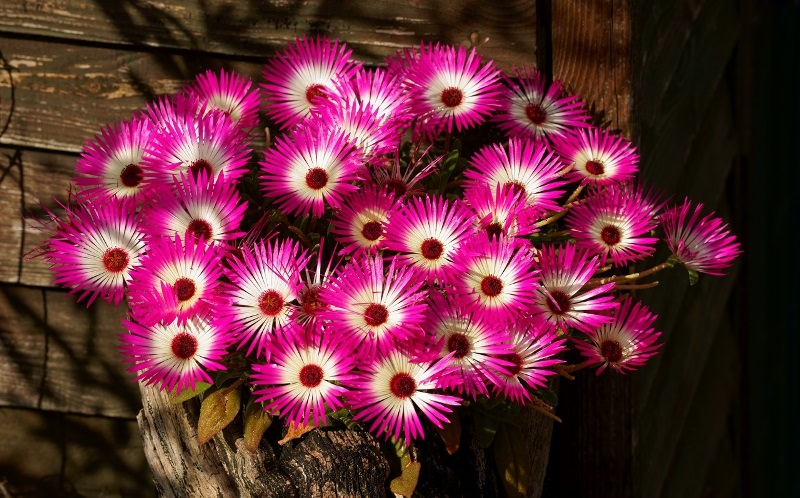 Мезембриантемум: оригинальное южноафриканское растение в своем саду