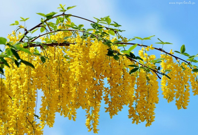 Лучшие сорта и особенности агротехники тропической мимозы