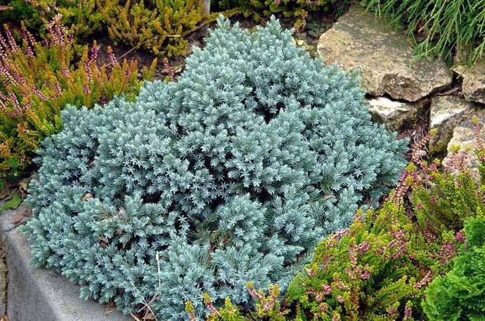 Особенностью голубого можжевельника является рост нижних веток практически от самого основания ствола, что придает кустарнику дополнительную привлекательность