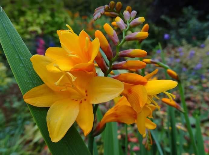 Если монтребеция хорошо перенесла зиму, она зацветет быстро, и долго будет радовать цветками