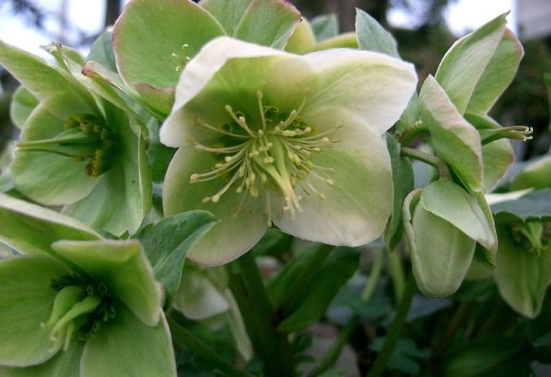 Морозник: трогательное украшение зимнего сада
