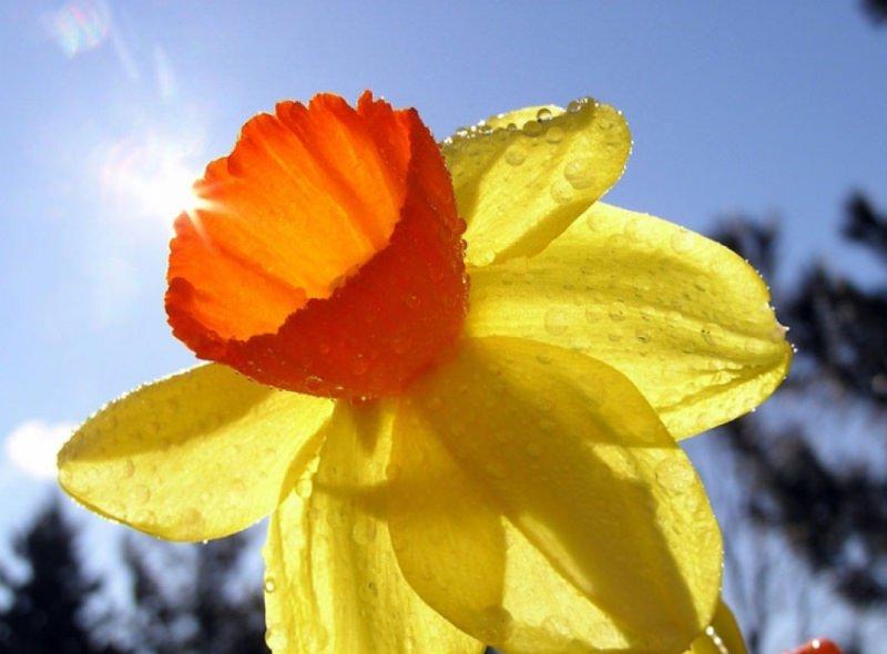 Нарциссы: выбор сорта и правила ухода