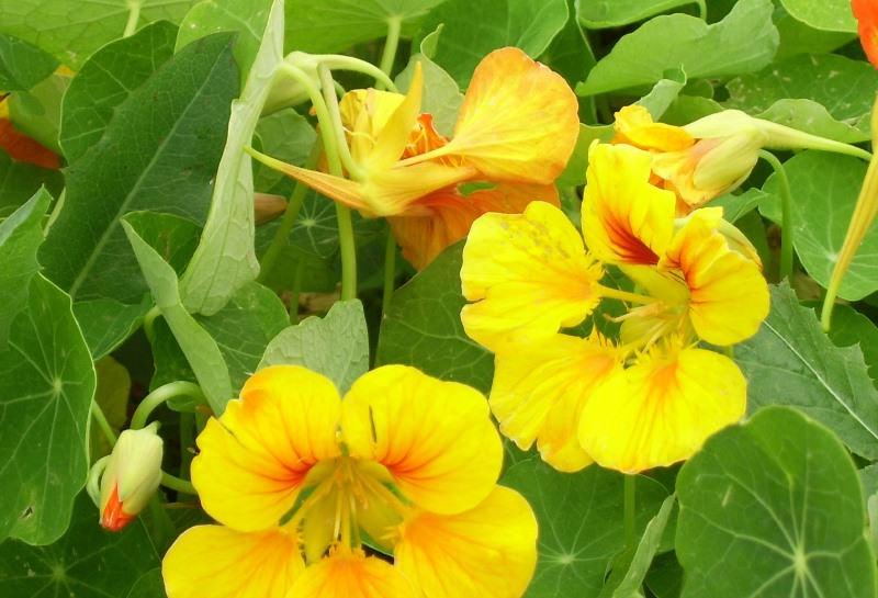 Особенности выращивания настурции