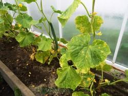 Выращиванием огурцов занимаются практически все овощеводы, у которых есть теплицы, парники или огородные участки