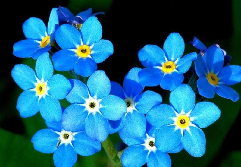 Незабудки: как вырастить трогательных скромниц в своем саду