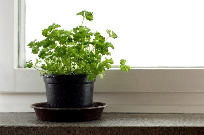 В течение зимы свежую петрушку можно вырастить на подоконнике