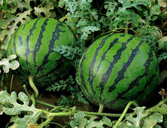Выращивание арбузов и дынь в теплице или в парнике за последние годы набирает обороты популярности