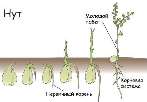 Выращивание нута не слишком отличается от культивирования других бобовых растений