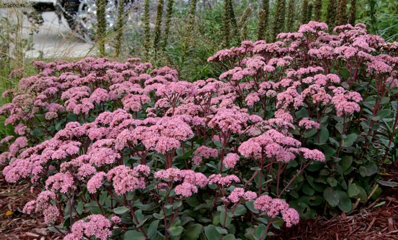 Очиток - растение множества видов для посадки на даче