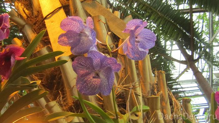 Орхидея Ванда © DachaDecor.ru