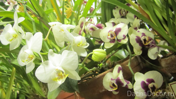 Наиболее часто в домашних условиях цветы высаживают именно в горшки, пластиковые или глиняные © DachaDecor.ru