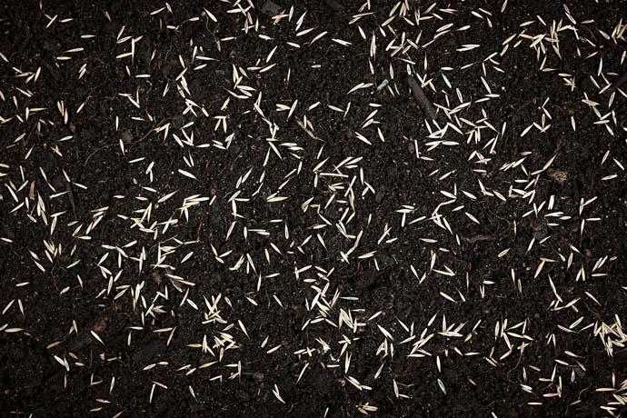 Посев газонных трав может быть осуществлен в любое время: весной, а также летом или осенью, до наступления сильных заморозков