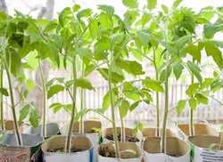 Хотите хороший урожай томатов? Не допускайте ошибок в агротехнике!