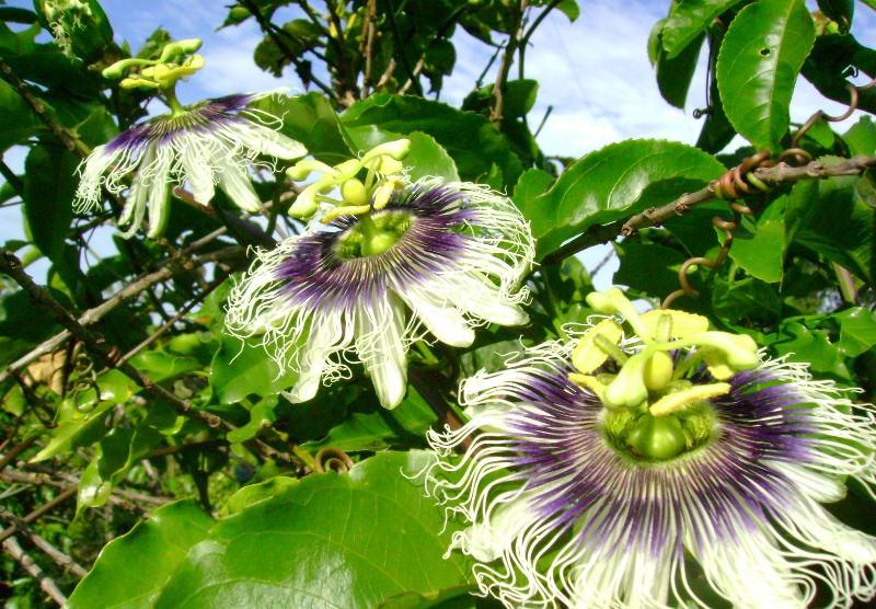 Экзотичная пассифлора у вас дома: как вырастить и сочетать с другими растениями