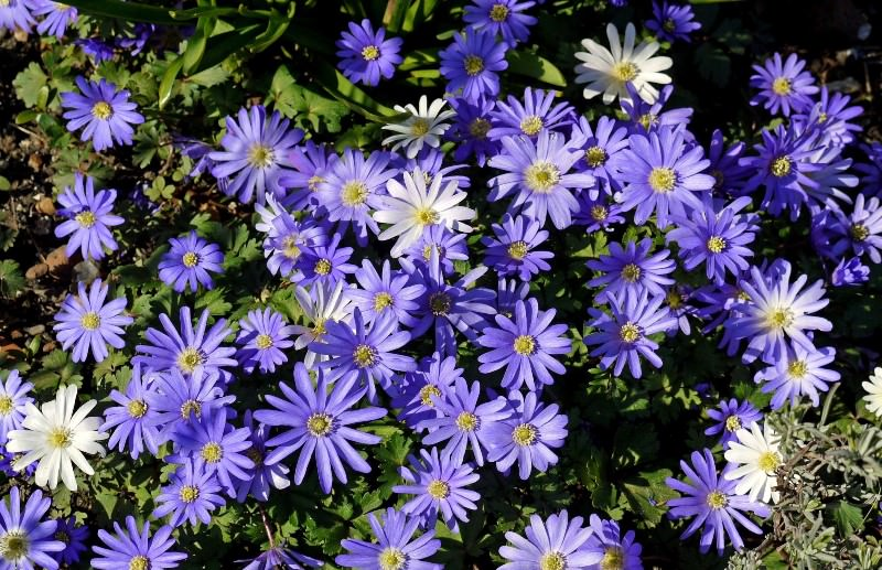 Печеночница: яркий ковер из первоцвета в вашем саду
