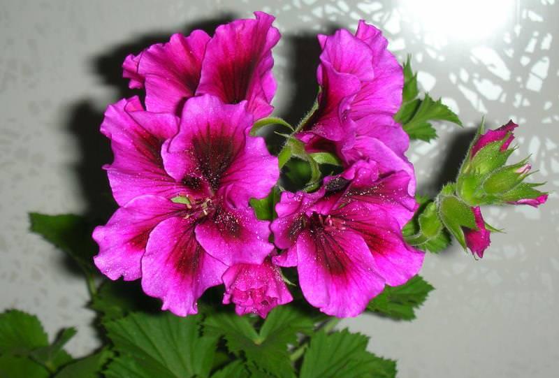 Период цветения такой грандифлоры более продолжителен